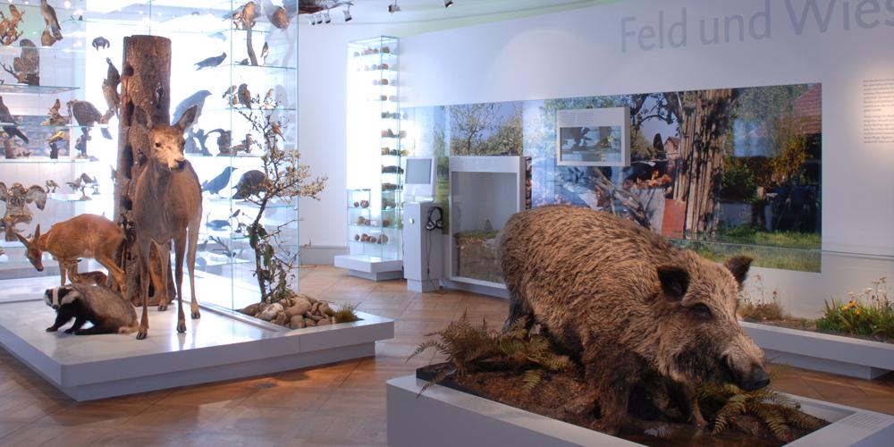Waldtiere in der Dauerausstellung des Naturmuseums